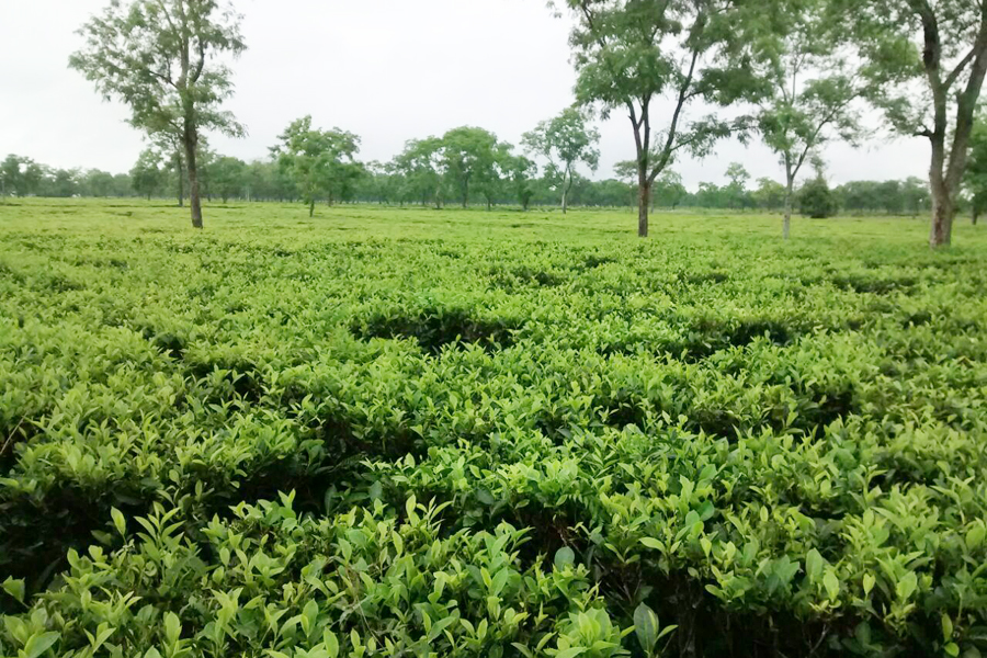 Ratanpur Tea Estate
